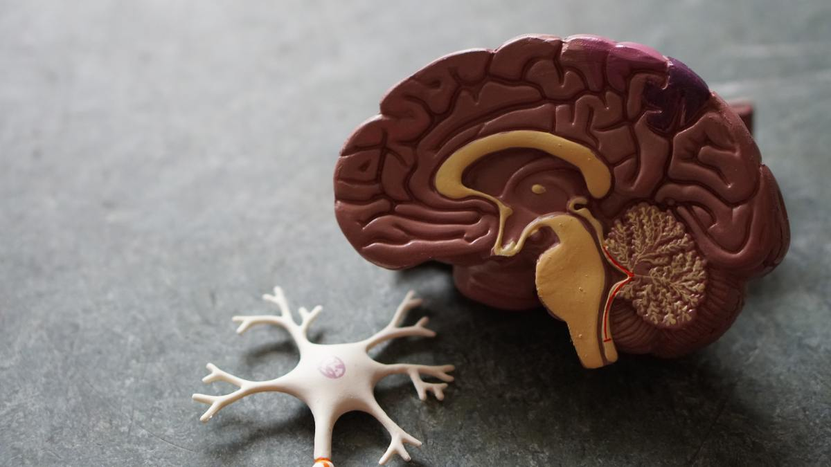 Model Brain is shown next to a model nerve stem.