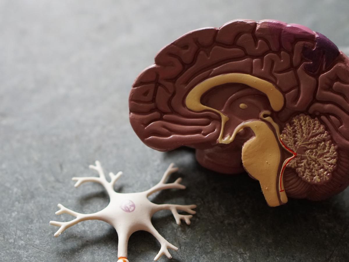 Model Brain is shown next to a model nerve stem.